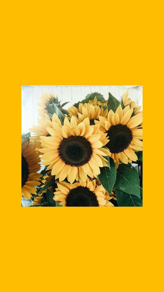 Cute Aesthetic Wallpapers Sunflower Wallpapershit